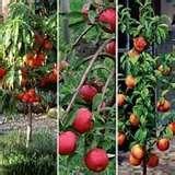 photos of Pomegranate Seeder