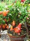 images of Pomegranate Seeder