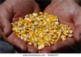 Seeds Corn
