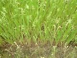 Grass Seeders Drills photos