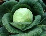 pictures of Seeds Vegetable Crops